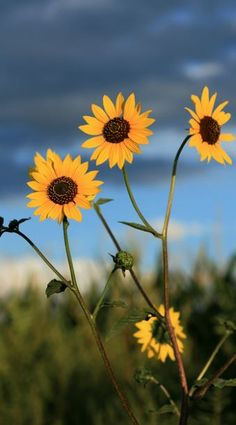Yellow and Blue my favorite to look at. Wild Sunflower, Yellow Sunflower, Yellow Flowers, Wild Flowers, Sun Flowers, Magic Tattoo, Adventure Novels, Blue Yellow, Art Inspo