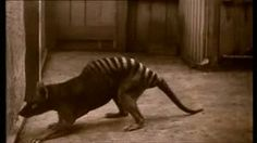 """animalsnatureveganism:  Extinct animals:Tasmanian tiger""""The Thylacine [Tasmanian Tiger] is a strong candidate for cloning and other molecular science projects due to its recent demise and the existence of several well preserved specimens."""""""