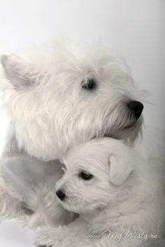 Westie and her puppy