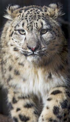 earthlynation:  Snow leopard cub coming to me IV (by Tambako the Jaguar) Красивые Кошки, Милые Животные, Дикие Животные, Детеныши Животных, Большие Кошки, Кошки И Котята, Милые Котики, Самые Милые Животные, Леопарды