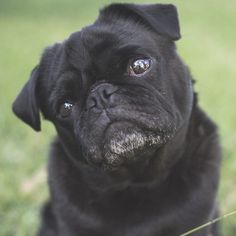 This week's pug photo challenge theme is all about the cute pug head tilt. Share your photos by tagging them #tpdthetilt #thepugdiary