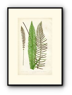 Edward Joseph Lowe Fern (Lomaria Alpina) Antique Botanical Print, 1859 Wood Block Engraving, Book Plate by TheOldMapShop on Etsy