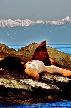 Sea Lions hanging out against the backdrop of the mountains. Photo by Jim Maya
