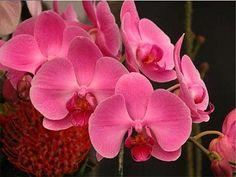 Pěstování - Orchidey patria medzi dlhokvitnúce kvetiny, ktoré nás očaria svojou exotickosťou, vôňou a farbami v odtieňoch fialovej, ružovej, červenej, žltej až po bielu. Aj keď prevláda názor, že orchidey sa pestujú ťažko, opak je pravdou. Stačí len dodržiavať niekoľ