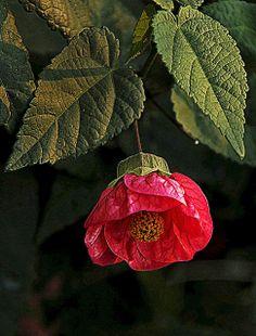 Flowering Maple Plant
