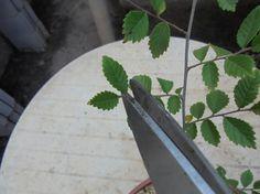 Diseñar un bonsái paso a paso - Pinzado - http://www.jardineriaon.com/disenar-un-bonsai-paso-a-paso-pinzado.html