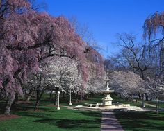 maryland scenery  | ,bringhusrt fountain,cherry blossoms,trees,spring,scenery,scenic ...