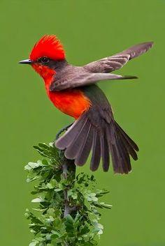 V = Vermillion Cardinal..