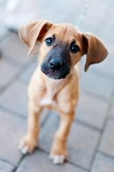 Edwina is an adoptable Great Dane Dog in Huntersville, NC. One of 7 female puppies that came in with their mama after being dumped off at the shelter when they were about 5 weeks old. The mama was sta...