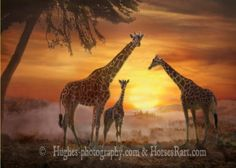 Golden Sunset shows a family of giraffes in a lovely red and yellow sunset with fog behind them. Art for sale in several sizes. Giraffe Family, Giraffe Painting, Photorealism, Animal Photography, Color Photography, Savannah Chat, Art For Sale, Habitats, Buy Art