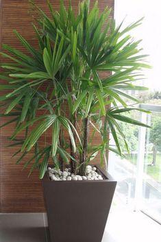 Vaso marrom com palmeira Balcony Plants, House Plants Decor, Outdoor Plants, Plant Decor, Plantas Indoor, Decoration Plante, Office Plants, Deco Floral, Interior Plants