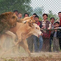 """Zoológico da China oferece aos visitantes animais vivos para serem jogados aos felinos - """"O Grito do Bicho"""""""