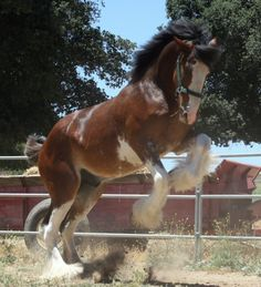 Firestone is a big, beautiful, exceptional moving Clydesdale stallion. Wow he feels great! Big Horses, Horse Love, Show Horses, All The Pretty Horses, Beautiful Horses, Animals Beautiful, Barrel Racing Saddles, Barrel Racing Horses, Clydesdale Horses
