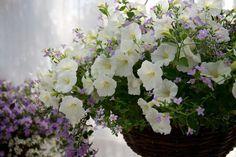 5 Gorgeous Flowering Container Garden Plants that Love Sun: Petunias