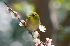 梅に憩う  撮影地:静岡県 熱海梅園  by asurado