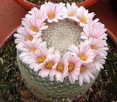 Mammillaria Lenta (10 SEEDS) VERY Rare Cactus Succulent Plant Samen Semi Korn | eBay