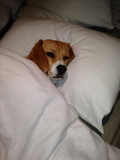 Julie the #Beagle. Mornings ain't her thing.OMG SOOOO CUTE!!