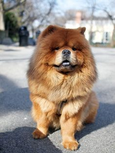 """Martha Stewart's Chow Chow, Ghenghis Khan. I had one just like him as a kid. His name was Leo...which I pronounced """"Weo."""" don't laugh."""