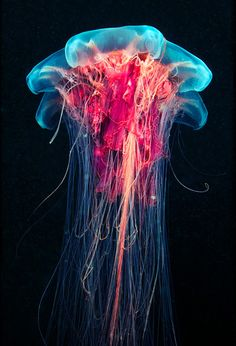 marine life - jelly fish, I like it because of the red and blue together makes it look energetic.
