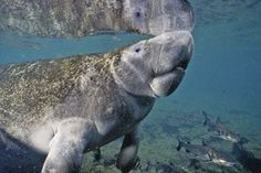 """This website is sponsored by the non-profit """"Save the Manatee Club"""" established by singer/songwriter Jimmy Buffet, and Bob Graham, a former U.S. senator and governor of Florida. It provides terrific, multi-media educational information on recovery and protection of the endangered marine mammals and their aquatic ecosystems throughout the world."""