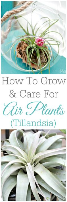 How To Grow And Care For Air Plants - Tillandsia Plant Care, Air Plants Care, Office Plants, How To Grow Orchids, How To Grow Cactus, Caring For Air Plants, House Plants, Indoor Gardening, Indoor Plants