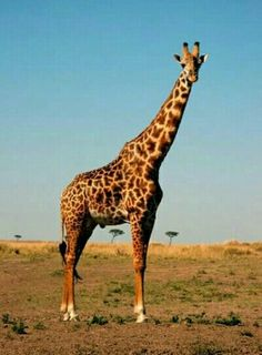 Beautiful Masai Giraffe Posing - Giraffe Facts and Information Giraffe Pictures, Animal Pictures, Giraffe Images, Animals Of The World, Animals For Kids, Giraffe Facts, Masai Giraffe, Camelus, Spiritual Animal