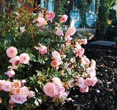 Apricot Drift® | Star® Roses and Plants