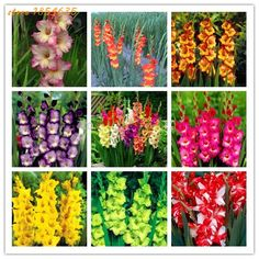 200pcs/bag Gladiolus Flower Seeds Rare China Seeds,potted Plants Bonsai Seeds For Sale Home Garden Farm