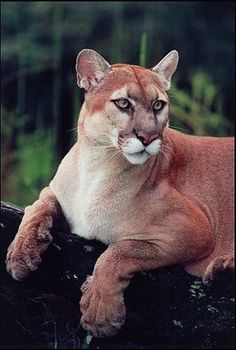 "Cougar.  Visit Facebook: ""Animals are Awesome"". Animals, Wildlife, Pictures, Photography, Beautiful, Cute."