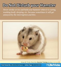 Hamster Training - Do Not Disturb your Hamster..not only will it get annoyed and possibly bite but that can destroy the trust it may already have for you