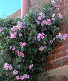 Pandorea jasminoides - Bower vine