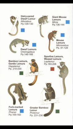 lemurs from madagascar