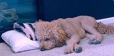 Our Goldendoodle, Doc is DOG TIRED! At least he found his pillow and blankie before he laid down to take his nap! Goldendoodle Full Grown, St Berdoodle, Bernadoodle, Love Doodles, Doodle Dog, Cuddle Buddy, Lap Dogs, He Is Able, Labradoodle