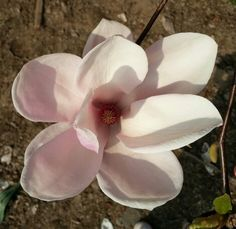 Magnolia stellata... Spring is here!