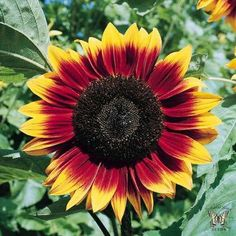 ProCut BICOLOR Sunflower Seeds Procut Bicolor sunflowers are stunning. The large, mahogany colored flowers are tipped in yellow. The hearts are dark. Blooms are carried on long, especially thick, strong, straight stems. They are superb for cutting. Plants grow to 5 feet tall.  25 seeds - $2.99