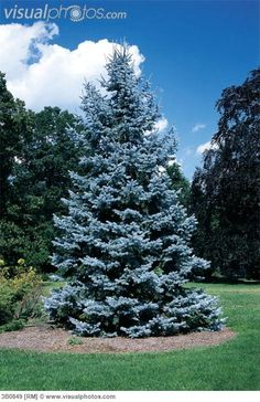 Blue Spruce (Colorado Spruce) Bluish tint, evergreen, pyramid shaped