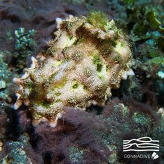 """The Miamira miamirana is one of those nudibranchs that """"only a mother could love"""". #GonnaDive"""
