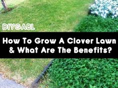 What Are The Benefits Of A Clover Lawn? For those who want a lusher, thicker and healthier lawn — with fewer fertilizers — adding clover might be the answer.   Although long considered a broadleaf. Clover Lawn, Diy Gardening, Organic Gardening, Grass Alternative, Ground Cover Plants, Lawn Care, Lawn And Garden, Green Garden, Gardens
