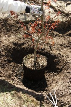 perfect size for a Japanese Maple tree!