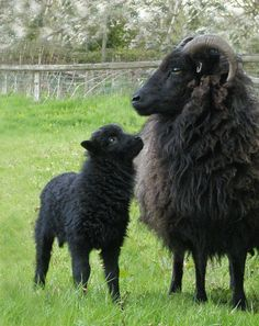 Hebridean_Sheep_Edited.jpg