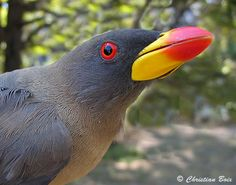 Oxpecker | Yellow-billed Oxpeckers have red-tipped yellow bills and lack the ...