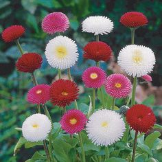 Flowering in shades of red, pink and white, Bellis 'Bellisima Mixed' blooms from February to May, making a refreshing change to traditional spring bedding plants. Bloom, White Flowers, Beautiful Flowers, Bellis Perennis, Rock Garden Landscaping, Flowers, Red Plants, Landscaping Plants, Blooming Flowers