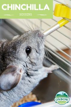 Chinchilla Housing - Discover the must-have supplies for your chinchilla's cage. Cow Fish, Chinchilla Cage, Class Pet, Canary Birds, Crow Bird, Caracal, All Gods Creatures, Cockatoo, Pet Health