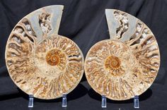 FREE USA Shipping RARE New Find Margarite ammonite dinosaur by Paulstaberminerals, $449.99