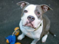 SAFE 5-3-2015 --- Manhattan Center CARLTON – A1032414  MALE, GRAY / WHITE, PIT BULL MIX, 4 yrs STRAY – STRAY WAIT, NO HOLD Reason STRAY Intake condition EXAM REQ Intake Date 04/07/2015