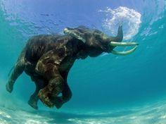 Este elefante asiático estava tomando um banho quando o fotógrafo o flagrou. Jeff Yonover conseguiu retratar o exato momento em que a tromba do elefante funcionou como um snorkel  Foto: Jeff Yonover/BBC Brasil