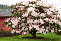 flowering tree ( rhododendron )