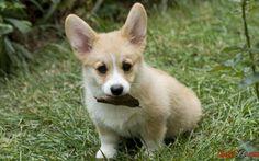 Bild von einem kleinen flauschigen Hund Corgi