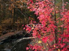autumn leaves. - Image of a autumn tree.