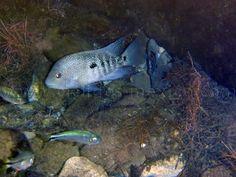 Herichthys cyanoguttatus (Baird & Girard, 1854) – Cíclidos México
